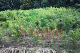 Sítio à venda com plantação de palmito próximo à rodovia